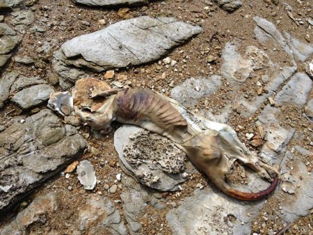 20130427 Wallaby Carcass